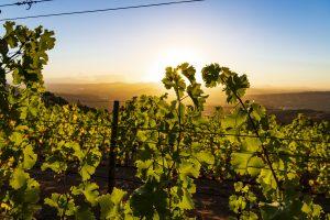 VineyardApr18-45-300x200
